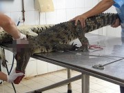 Thế giới - Cảnh lột da cá sấu ở trang trại Việt Nam lên báo Tây