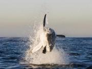 Thế giới - Cá mập trắng khổng lồ phi thân nuốt trọn hải cẩu