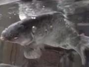 Phi thường - kỳ quặc - Video: Cá chép đóng băng sống lại khi cho vào nước