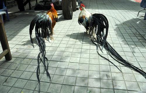 Chiêm ngưỡng gà đuôi dài 2m, giá hàng chục triệu đồng - 5