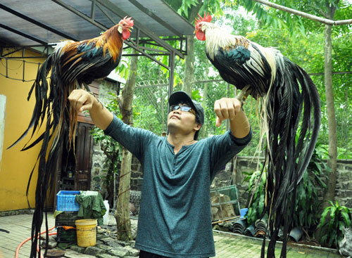 Chiêm ngưỡng gà đuôi dài 2m, giá hàng chục triệu đồng - 1