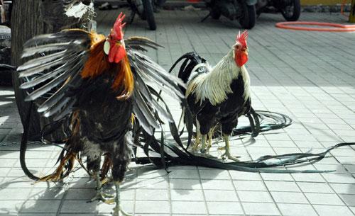 Chiêm ngưỡng gà đuôi dài 2m, giá hàng chục triệu đồng - 4