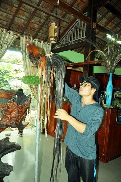 Chiêm ngưỡng gà đuôi dài 2m, giá hàng chục triệu đồng - 7