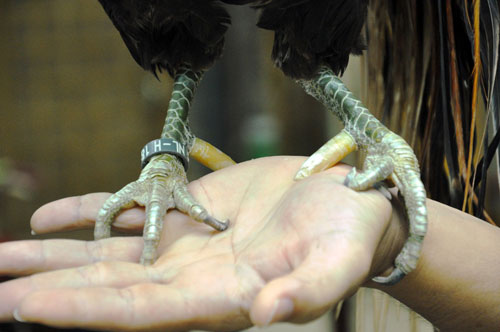 Chiêm ngưỡng gà đuôi dài 2m, giá hàng chục triệu đồng - 8