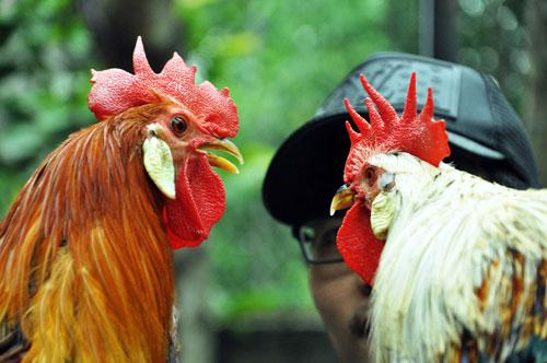 Chiêm ngưỡng gà đuôi dài 2m, giá hàng chục triệu đồng - 6
