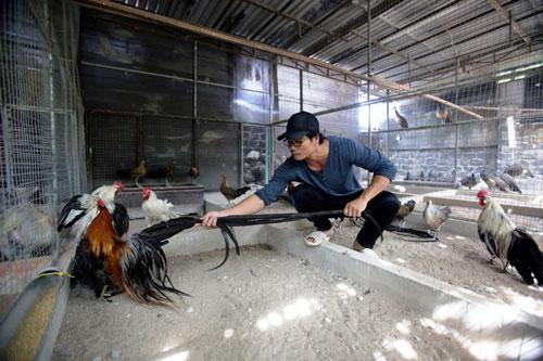 Chiêm ngưỡng gà đuôi dài 2m, giá hàng chục triệu đồng - 13