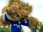 Thị trường - Tiêu dùng - Năm u ám của xuất khẩu gạo