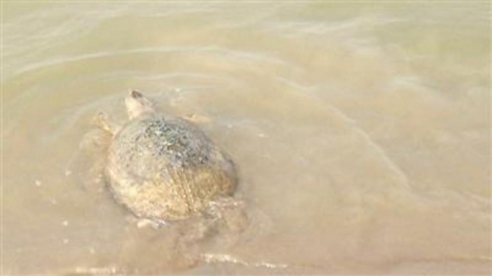 """TQ: Thả rùa khổng lồ cực hiếm về sông, nhận """"quà"""" bất ngờ - 2"""