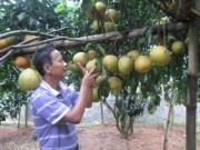 Thị trường - Tiêu dùng - Làm giàu ở nông thôn: Trồng có 128 cây bưởi đỏ thu 600 triệu đồng/năm