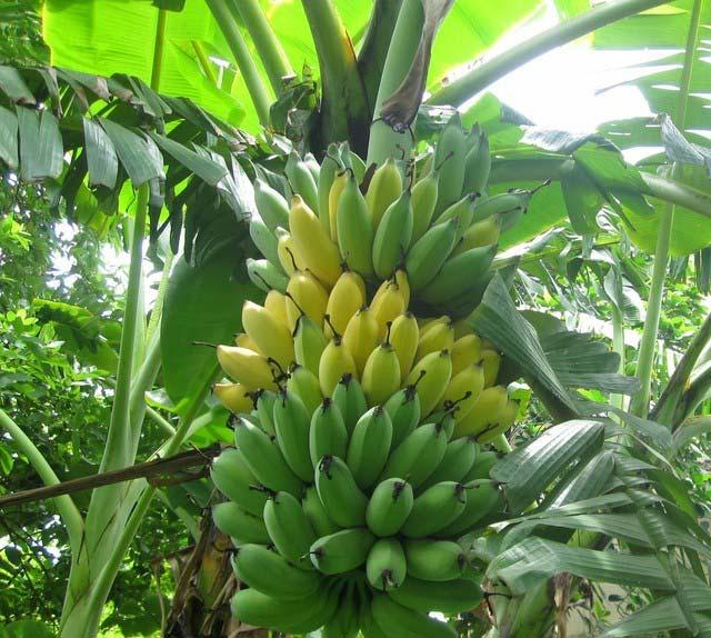 """Kiếm 450 triệu/năm nhờ """"độc chiêu"""" trồng chuối tây Thái Lan bán cả lá, hoa, quả - 1"""