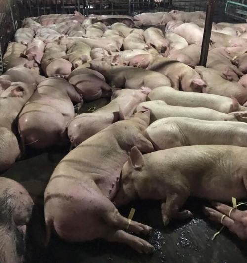 Vì sao lợn bị tiêm thuốc an thần? - 1