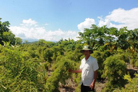 Làm giàu ở nông thôn: Trồng đinh lăng, mới bán lá, thân có 150 triệu - 2