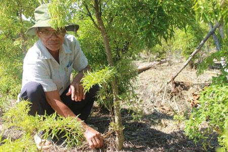 Làm giàu ở nông thôn: Trồng đinh lăng, mới bán lá, thân có 150 triệu - 3