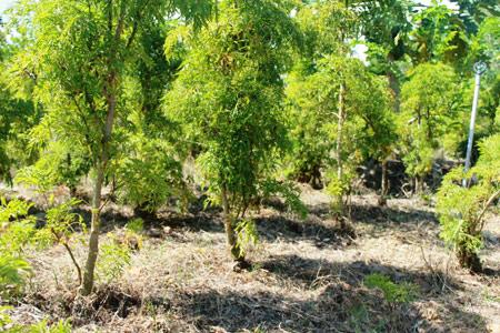 Làm giàu ở nông thôn: Trồng đinh lăng, mới bán lá, thân có 150 triệu - 4