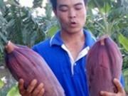 """Thị trường - Tiêu dùng - Kiếm 450 triệu/năm nhờ """"độc chiêu"""" trồng chuối tây Thái Lan bán cả lá, hoa, quả"""