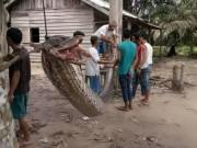 Thế giới - Indonesia: Người đàn ông tử chiến với trăn khổng lồ dài 7m