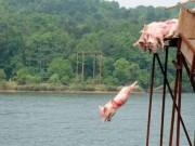Du khách đổ xô đi xem lợn nhảy cầu, bơi nhanh thoăn thoắt