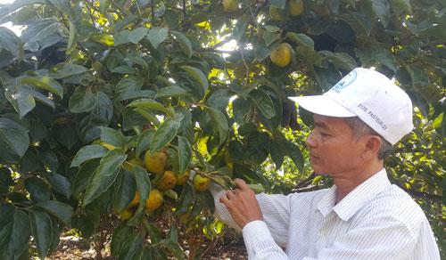 """Lạ mà hay: """"Bắt"""" vườn cây ra quả trái vụ, không khó mà có tiền tỷ - 1"""