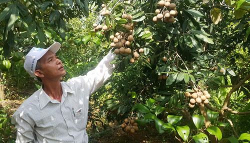 """Lạ mà hay: """"Bắt"""" vườn cây ra quả trái vụ, không khó mà có tiền tỷ - 3"""
