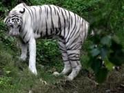 Ấn Độ: Cho hổ trắng ăn tối, bị lôi vào chuồng cắn đến chết