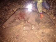 Voi con nặng 90kg chết khi vừa được sinh ra khỏi bụng mẹ