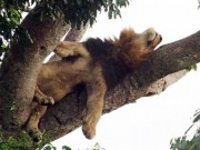 Phi thường - kỳ quặc - Sư tử trèo cây tài tình, nằm phè phỡn trên cao vì… sợ côn trùng