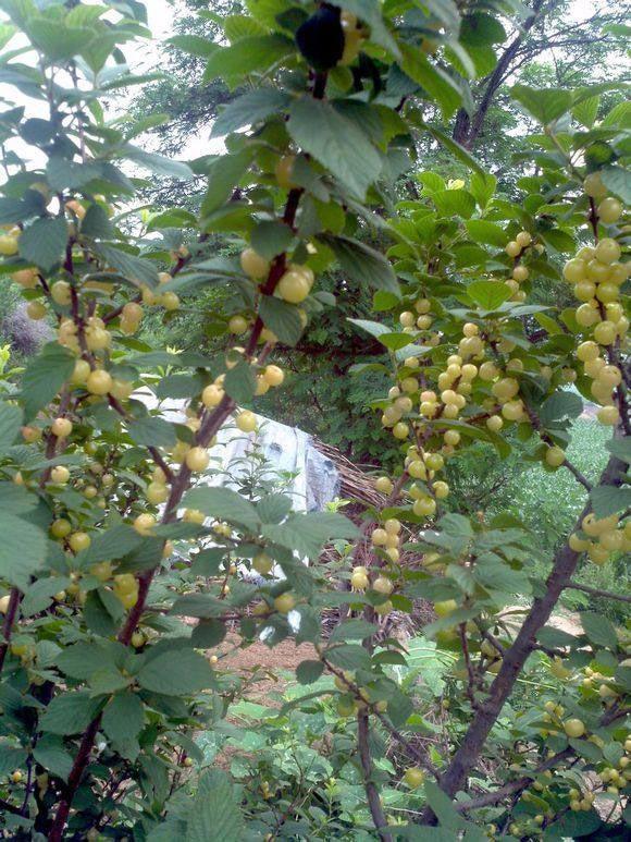 Loại cherry lạ giống hệt ngọc trai, giá chỉ hơn 200 nghìn/kg - 5