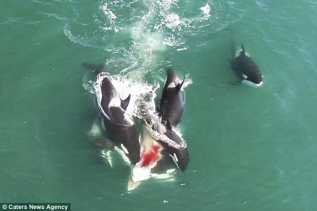 Đàn cá voi sát thủ truy sát, cắn ngập răng cá voi khổng lồ - ảnh 1
