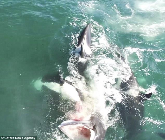 Đàn cá voi sát thủ truy sát, cắn ngập răng cá voi khổng lồ - ảnh 2