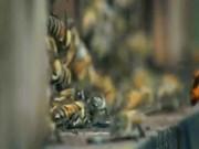 Video: 30 ong bắp cày thảm sát 3 vạn con ong trong 3 giờ