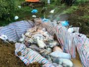Thị trường - Tiêu dùng - Chùm ảnh: Tiêu hủy gần 6.000 con lợn chết trong lũ tại Thanh Hoá