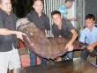 Thủy quái  nặng hơn 1 tạ được đưa từ vịnh Thái Lan về Hà Nội