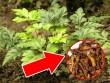 Kỳ lạ: Huyết áp xuống 120, thoát đau đầu sau 2 lần biến chứng ở não nhờ cây quý