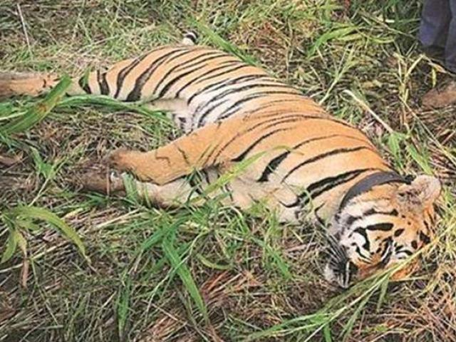 """Ấn Độ: Hổ cái giết 4 người ăn thịt đã tự """"nộp mạng"""""""