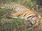 """Ấn Độ: Hổ cái giết 4 người ăn thịt đã tự  """" nộp mạng """""""