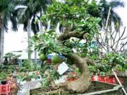 Độc đáo: Đào tiên dáng long giá hơn 2 cây vàng chủ vẫn chưa gật đầu