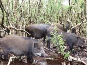 Lạ mắt đàn lợn  chạy bộ  giữa  đầm lầy sa mạc