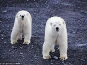 Băng đảng  20 gấu Bắc Cực vây hãm ngôi làng Nga