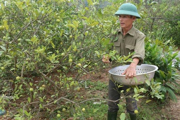 Nghệ An: Giá chanh rớt thê thảm, 100.000 đồng mua được cả tạ chanh - 1