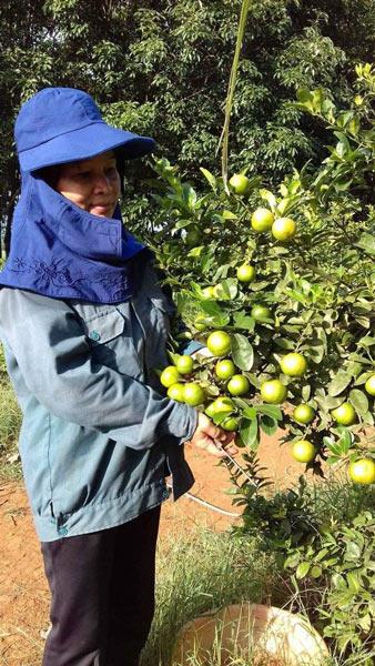 Nghệ An: Giá chanh rớt thê thảm, 100.000 đồng mua được cả tạ chanh - 3