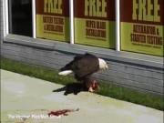 Đại bàng khát máu xé xác mèo, ăn ngấu nghiến giữa phố