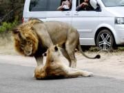 """Sư tử ngang nhiên làm  """" chuyện ấy """"  trên đường gây ách tắc giao thông"""