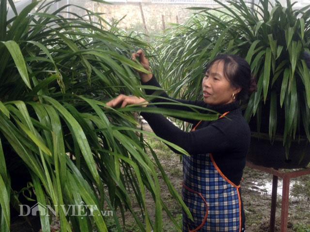 """Khổ công trồng hoa """"giấc mộng vua Trần"""", chỉ lãi hơn 200 triệu/năm - 4"""