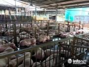 Giá lợn hơi lao dốc thê thảm, thương lái đua ép giá