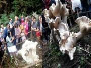 """Dân Trung Quốc tìm thấy hàng loạt  """" nấm vua """"  khổng lồ"""