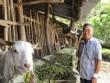 Tên là Hùm lại khoái chăn dê, khiến dân cả xã mê học nuôi theo
