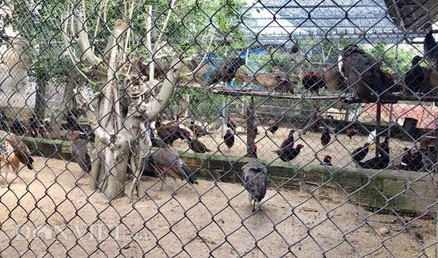 """Ngắm trang trại chim, gà """"quý tộc"""" trị giá tiền tỷ - 1"""