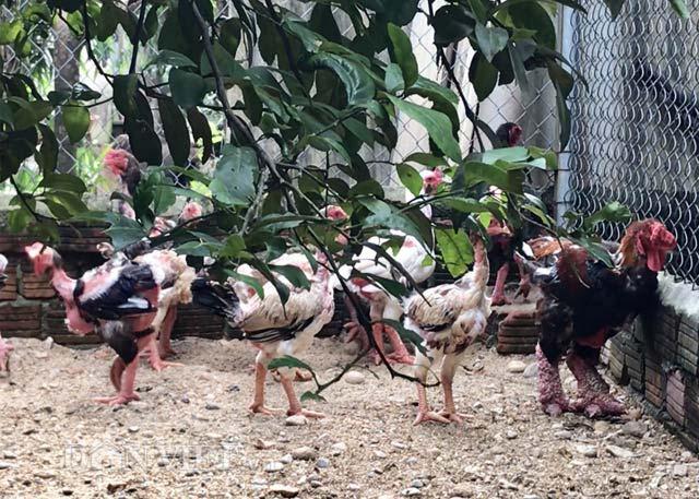 """Ngắm trang trại chim, gà """"quý tộc"""" trị giá tiền tỷ - 3"""