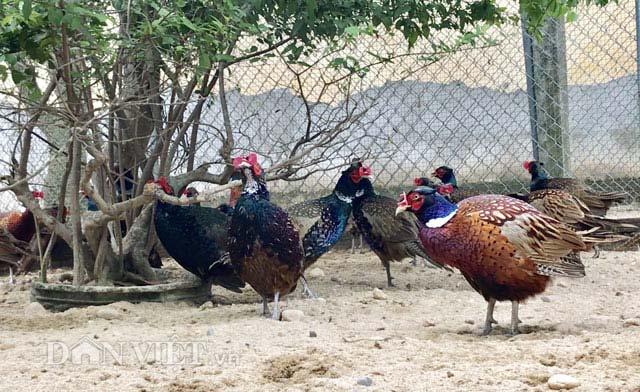 """Ngắm trang trại chim, gà """"quý tộc"""" trị giá tiền tỷ - 4"""