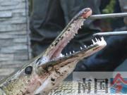 """Phi thường - kỳ quặc - Bất ngờ phát hiện hai """"thủy quái"""" mõm dài trong hồ Trung Quốc"""